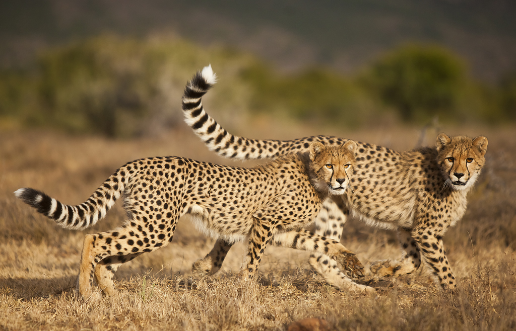 Cheetah Conservation at Samara Private Game Reserve - South Africa | 1024 x 658 jpeg 564kB
