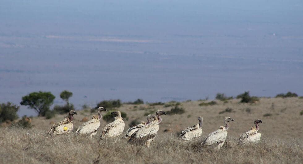 Cape Vulture on the Samara Mara, Samara Private Game Reserve, Great Karoo, South Africa