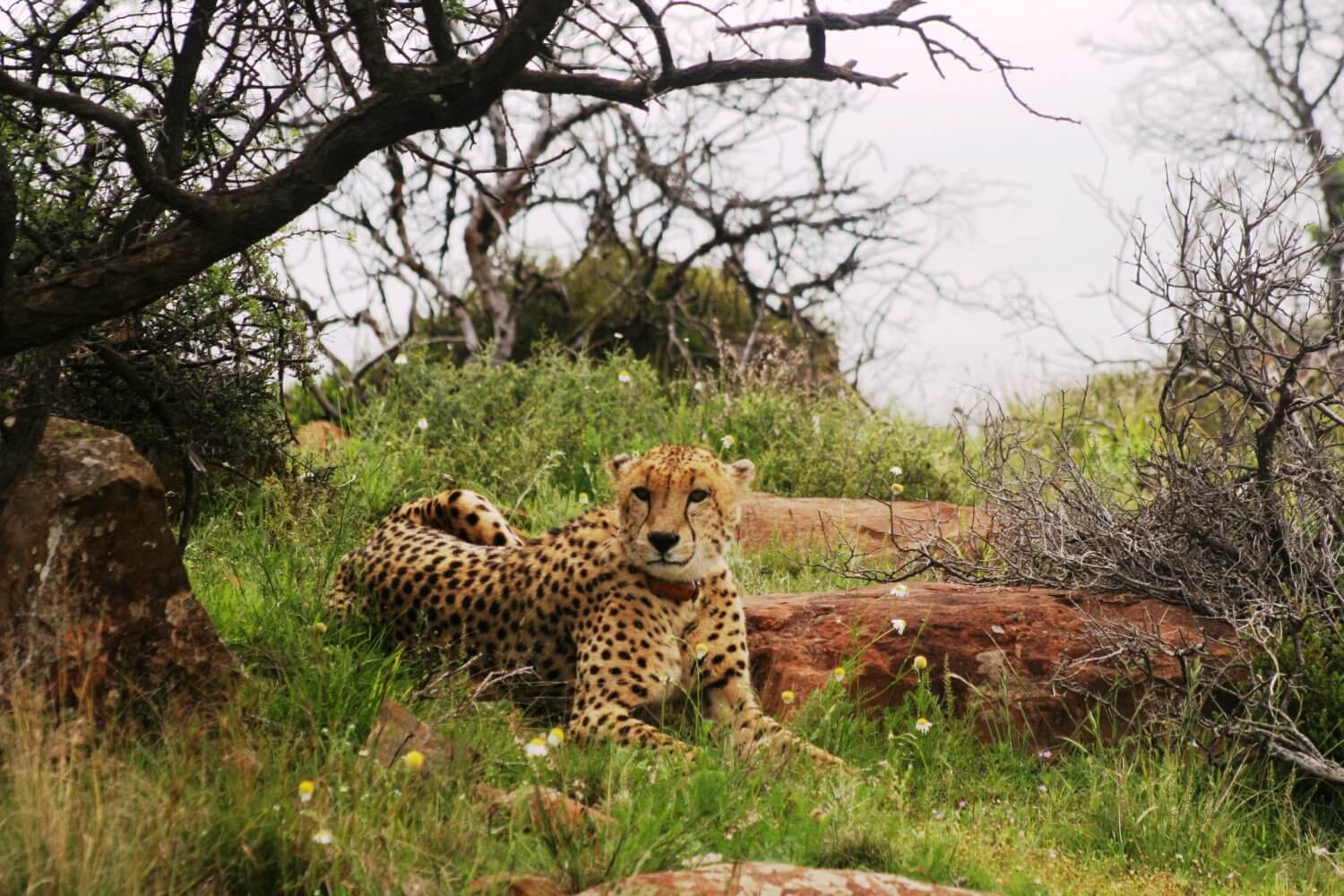 cheetahs in the wild A couple of years ago scientists fitted some wild cheetahs with nifty gps collars  capable of recording the animal's hunting dynamics in.