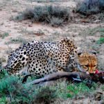 Cheetah Kill2