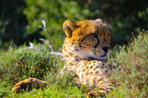 Cheetah at Samara