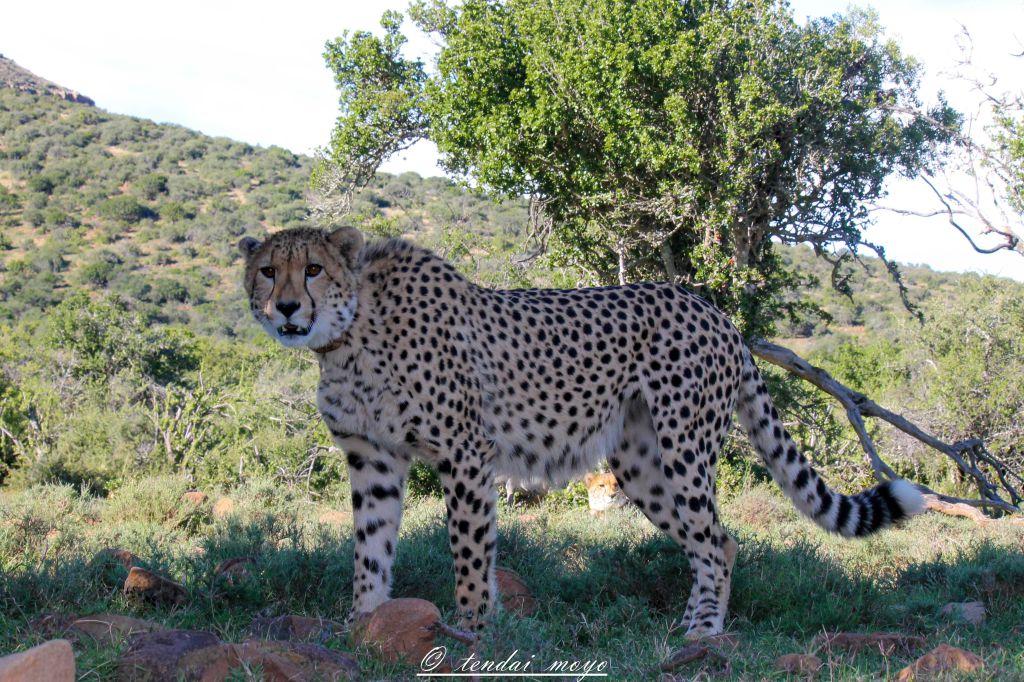 Curious Cheetah