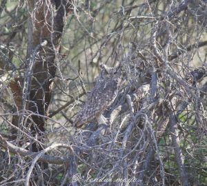 Spotted Eagle Owl at Samara