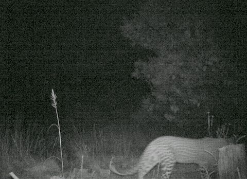 Leopard photographed in camera trap, January 2014