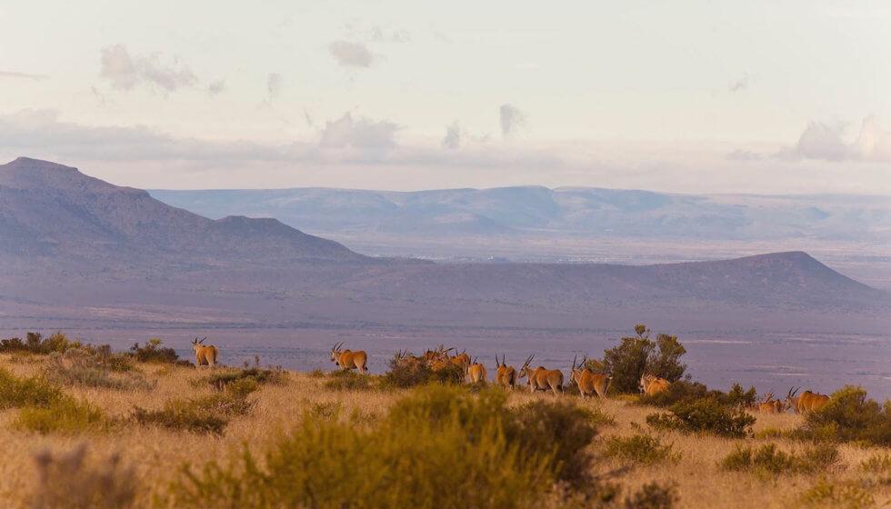 Herd of eland on Samara Mara, Samara Private Game Reserve, Great Karoo, South Africa
