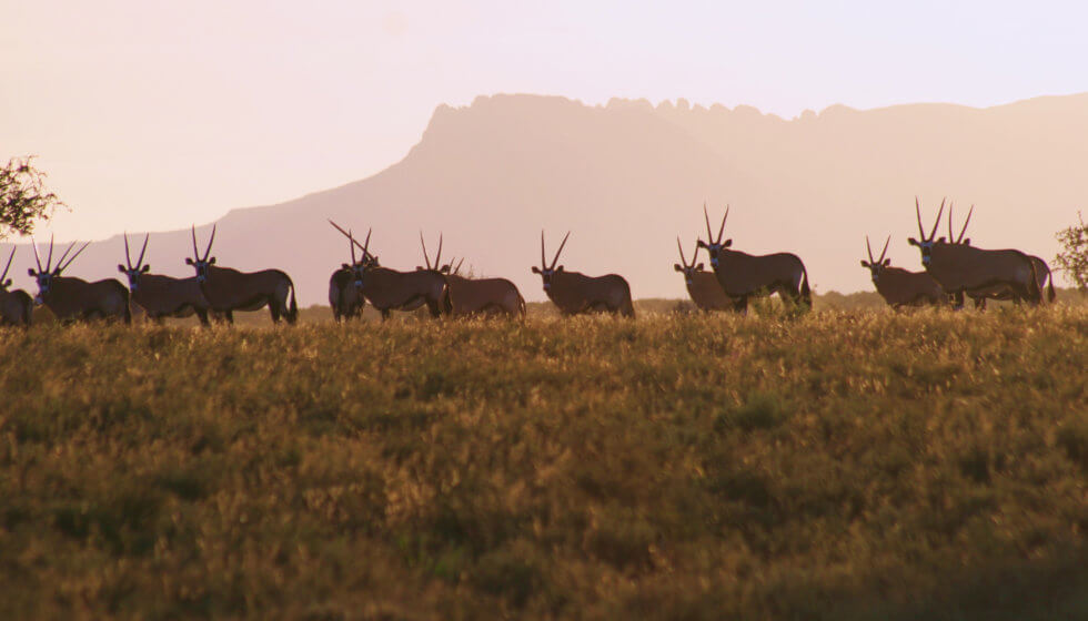 Herd of Gemsbok at Samara Private Game Reserve, Great Karoo, South Africa
