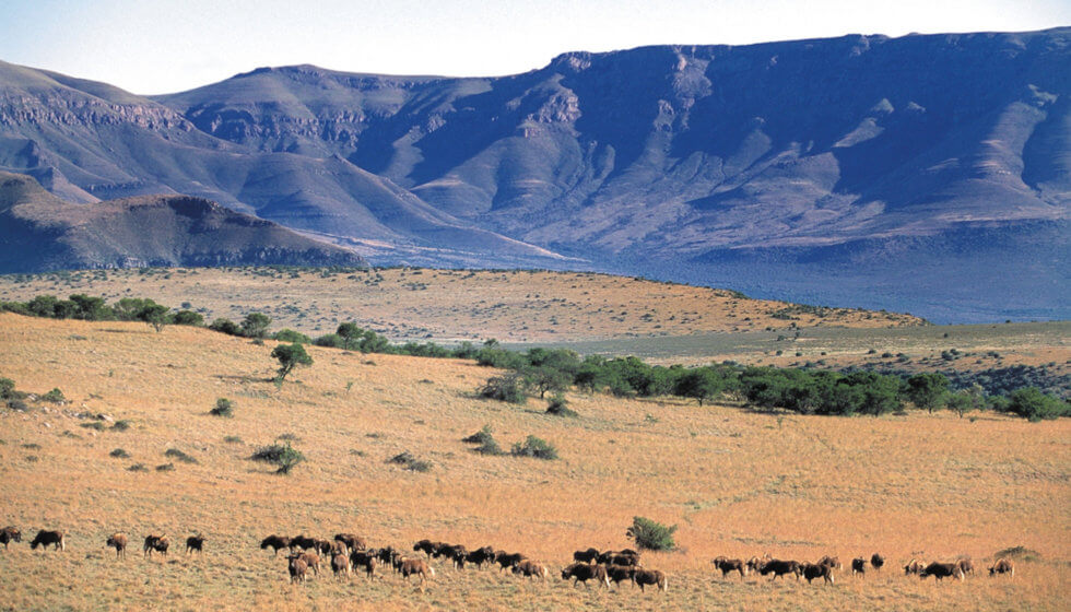 Herd of Black wildebeest on the Samara Mara, Samara Private Game Reserve, Great Karoo, South Africa