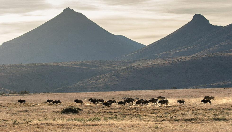 Black wildebeest on the Samara Mara, Samara Private Game Reserve, Great Karoo, South Africa