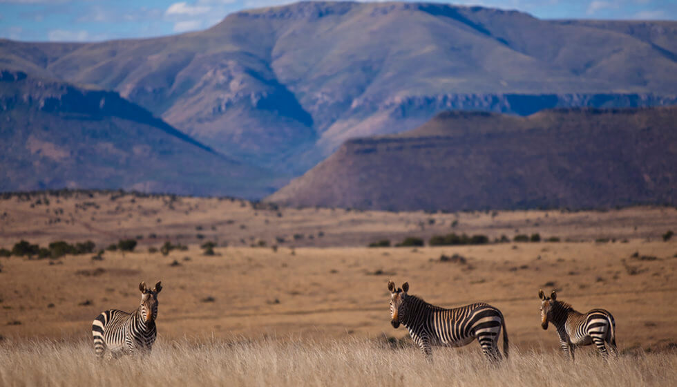 Cape Mountain zebra on the Samara Mara, Samara Private Game Reserve, Great Karoo, South Africa