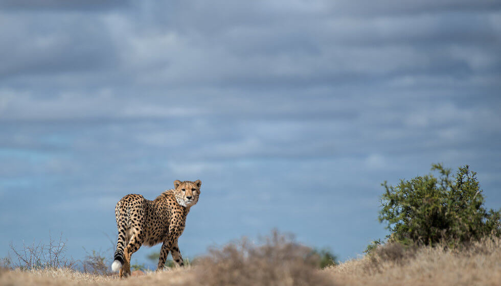 Cheetah at Samara Private Game Reserve, Great Karoo, South Africa (copyright Mark Drysdale)