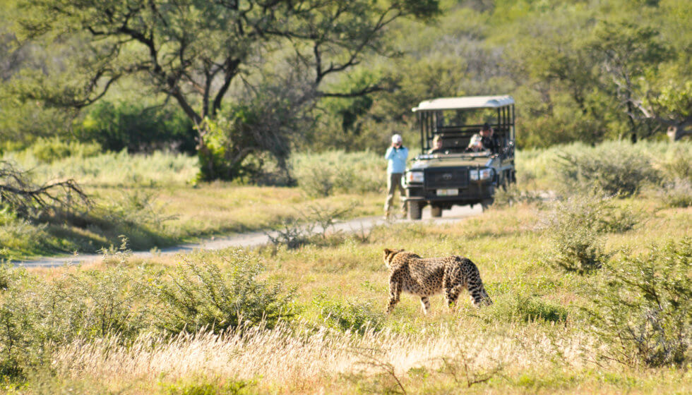 A cheetah walks past the vehicle at Samara Private Game Reserve, Great Karoo, South Africa