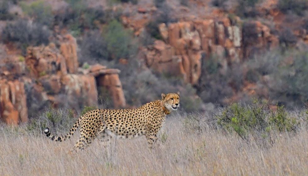 Chilli the cheetah at Samara Private Game Reserve, Great Karoo, South Africa