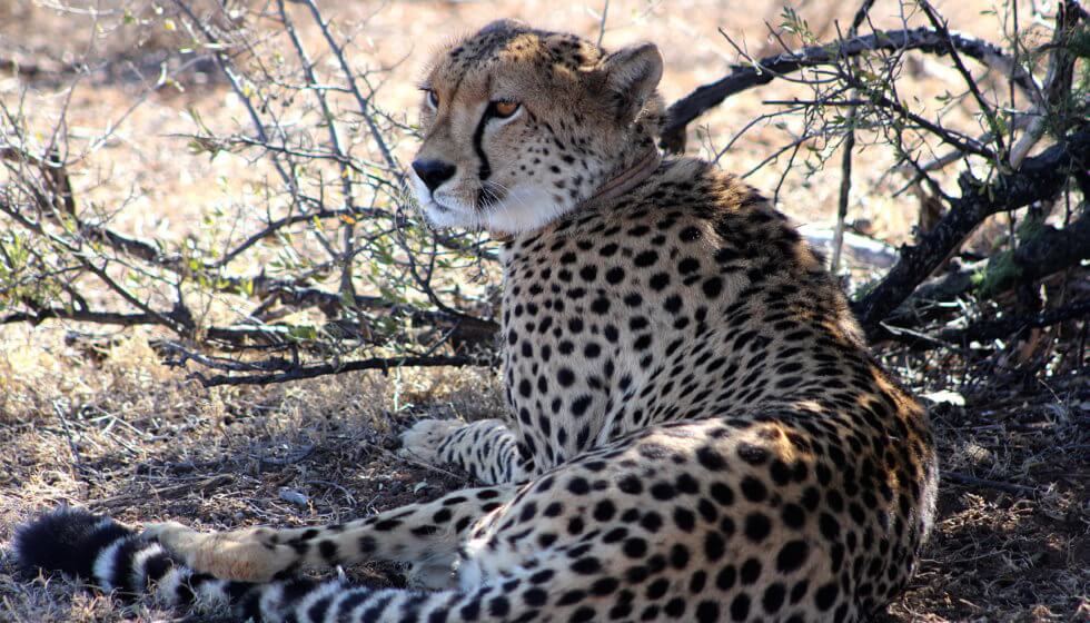 Chilli the cheetah, Samara Private Game Reserve, Great Karoo, South Africa