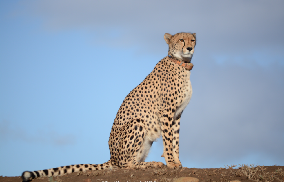 Chilli the female cheetah at Samara Private Game Reserve, Great Karoo, South Africa