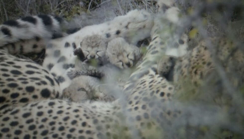 Week-old cheetah cubs, Samara Private Game Reserve, Great Karoo, South Africa