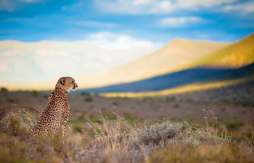 Sibella the cheetah looks out over her territory, Samara Private Game Reserve, Great Karoo, South Africa