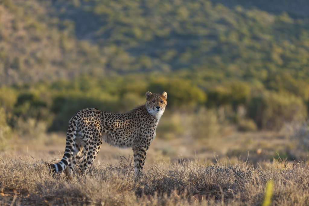 Young cheetah stands alert at Samara Private Game Reserve, Great Karoo, South Africa