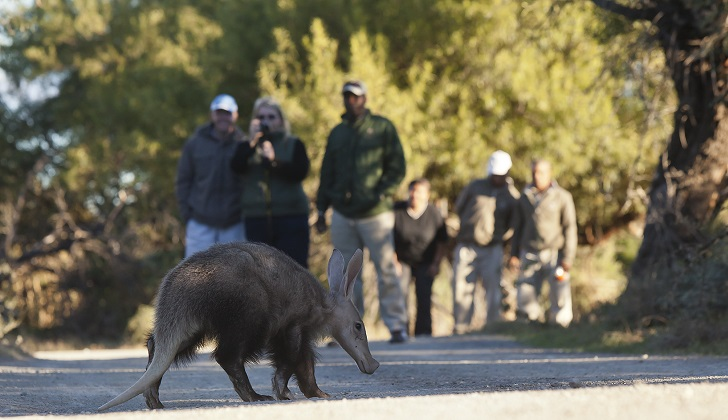 Aardvark tracking on foot, Samara Private Game Reserve, Great Karoo, South Africa