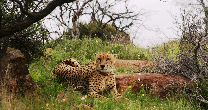Male cheetah, Samara Private Game Reserve, Great Karoo, South Africa