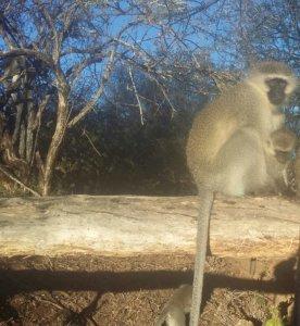 Vervet monkeys huddle to keep warm, Samara Private Game Reserve, Great Karoo, South Africa