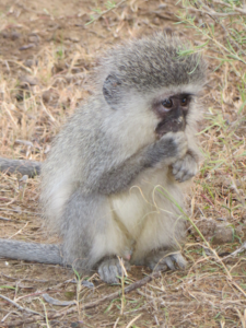 Vervet monkey infant at Samara Private Game Reserve, Great Karoo, South Africa