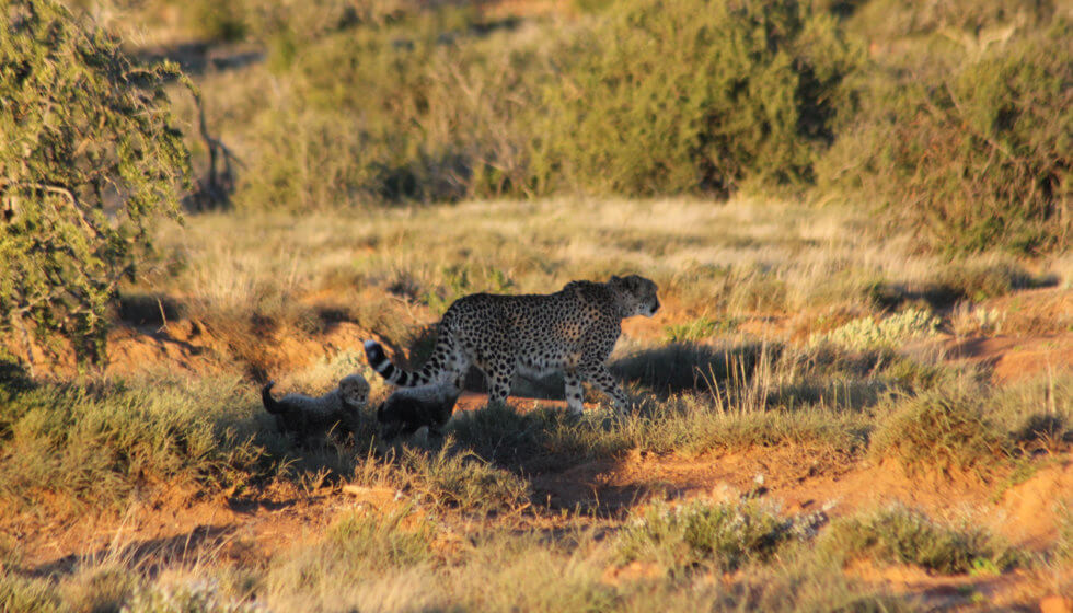 Sibella the cheetah is joined by her young cubs, Samara Private Game Reserve, Great Karoo, South Africa