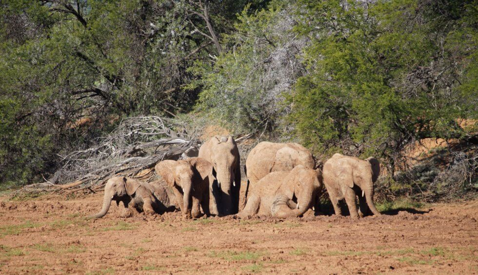 Elephant herd mudbath, Samara Private Game Reserve, Great Karoo, South Africa