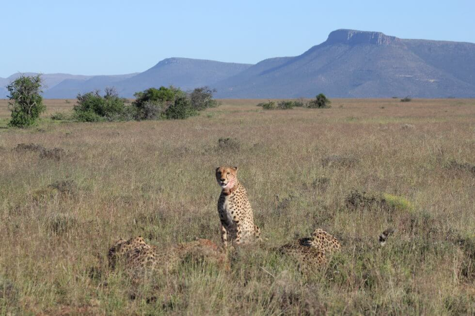 Cheetahs on a warthog kill, Samara Private Game Reserve, Great Karoo, South Africa