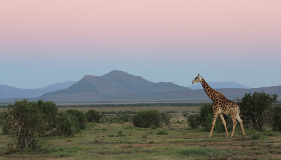 Male giraffe, Samara Private Game Reserve, Great Karoo, South Africa