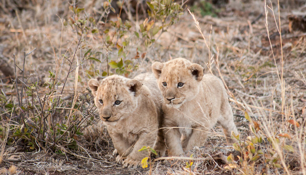 Two lion cubs, copyright Marnus Ochse