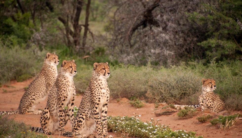 Cheetah coalition at Samara Private Game Reserve, Great Karoo, South Africa