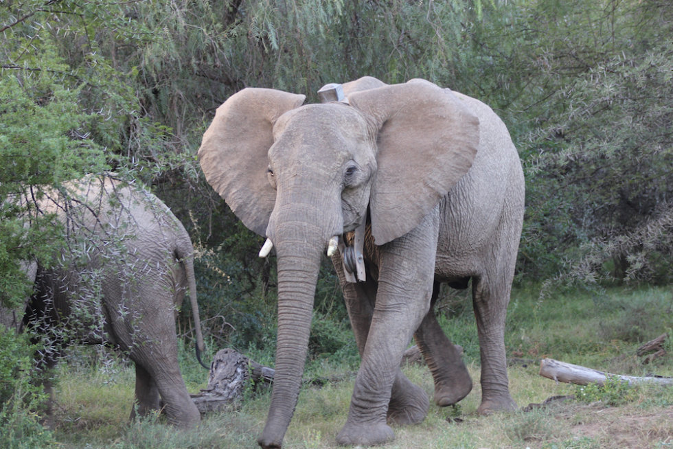 Elephant cow in the founder elephant herd, Samara Private Game Reserve, Great Karoo, South Africa