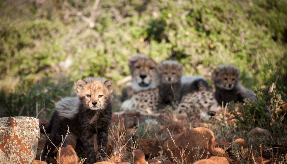 Chilli relaxes with six-week-old cubs from her second litter, Samara Private Game Reserve, Great Karoo, South Africa